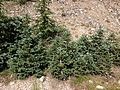 2013-07-14 10 41 20 Engelmann Spruce saplings near the end of Wheeler Peak Scenic Drive.jpg