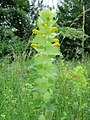 201306012Rhinanthus alectorolophus2.jpg