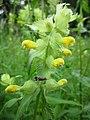 201306012Rhinanthus alectorolophus3.jpg