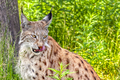 20131107 Eurasian Lynx IMG 8092.png