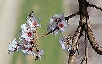 2013 Spring blossoms of Shahr-e Kord 07.jpg