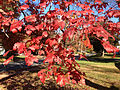 2014-10-30 11 10 21 Red Maple foliage during autumn on Lower Ferry Road in Ewing, New Jersey.JPG