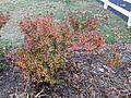 2014-12-20 13 15 53 Azalea cultivar 'Rosebud' during early winter along Terrace Boulevard in Ewing, New Jersey.JPG