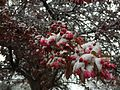 2015-04-08 07 38 04 A wet spring snow on Crabapple blossoms along Carlin Court in Elko, Nevada.jpg