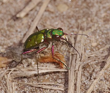 Green tiger beetle - Cicindela campestris