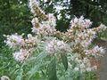 20160810Mentha longifolia1.jpg