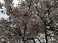 2017-04-03 16 06 56 White Flowering Cherry flowers near the end of Ladybank Lane in the Chantilly Highlands section of Oak Hill, Fairfax County, Virginia.jpg