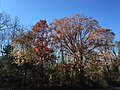 2017-11-23 12 47 33 Trees in late autumn along Lees Corner Road (Virginia State Route 645) in Chantilly, Fairfax County, Virginia.jpg