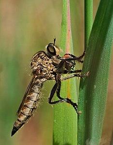 Robber fly - Eutolmus rufibarbis, female