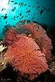 2018 fiji, 16 april, coral corner, pink fan corals (40058216350).jpg