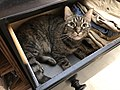 2019-07-12 00 36 22 A tabby cat lying down in a dresser drawer in the Franklin Farm section of Oak Hill, Fairfax County, Virginia.jpg