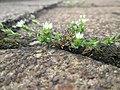 20190429Arenaria serpyllifolia3.jpg