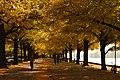 2020-10-19 Herbstbunte Lindenallee am Maschsee 02.JPG