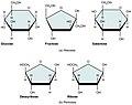 217 Five Important Monosaccharides-01.jpg
