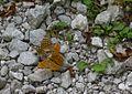 22 Schmetterlinge (29195858630).jpg