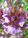 5665 - Schynige Platte - Scutellaria alpina.JPG