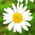 5b daisy - Margarita.png