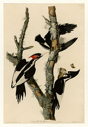 66 Ivory-billed Woodpecker.jpg