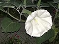 7885 D.innoxia Fleur en fin de floraison.jpg