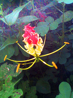 A Gloriosa flower in it's natural habitat.jpg