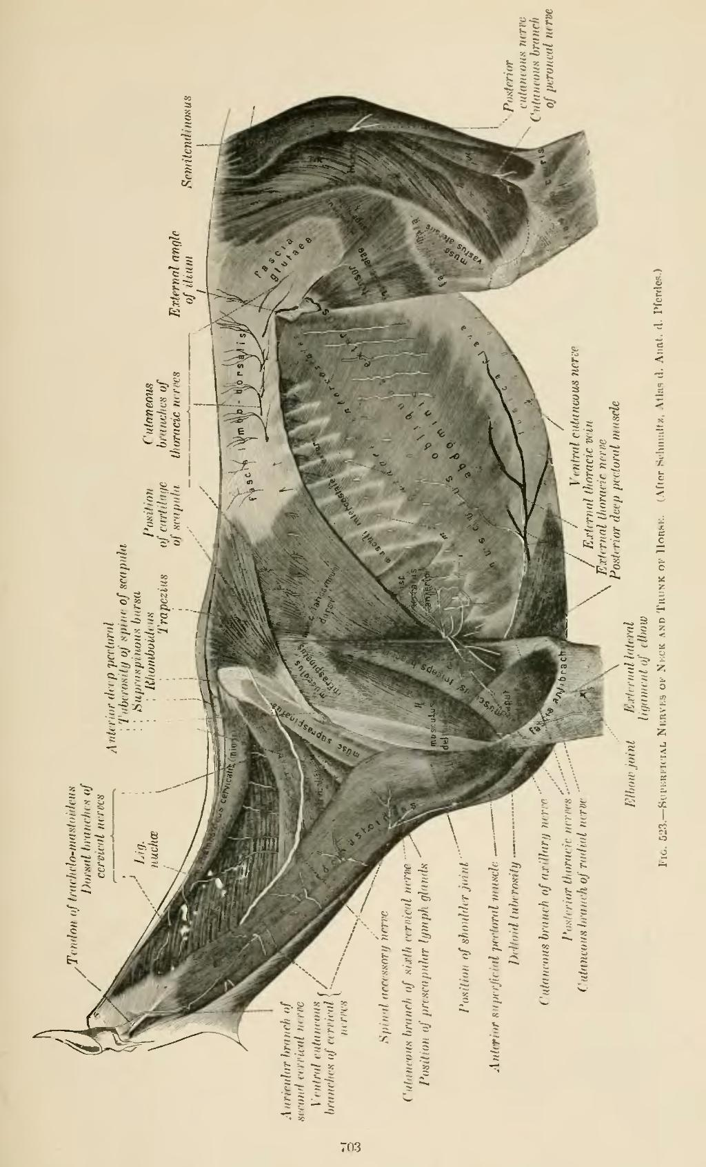 Page:A Text-book of Veterinary Anatomy.djvu/705 - Wikisource, the ...