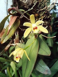 A and B Larsen orchids - Cattleya luteola 855-7.jpg
