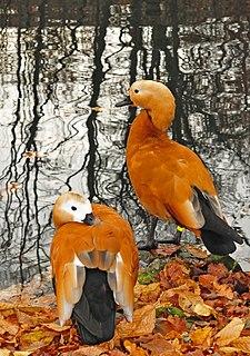 Ruddy shelduck Species of bird
