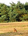 A hare enjoying the evening sunshine - geograph.org.uk - 1391792.jpg