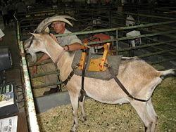 Pack Goat Wikipedia