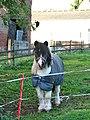 A piebald Shetland pony - geograph.org.uk - 1578462.jpg