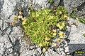 A saxifrage (Gru) (31121348724).jpg