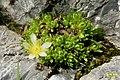 A saxifrage ? (Gru) (31812789632).jpg
