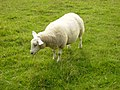 A sheep 500m east of Normanby Grange - geograph.org.uk - 241209.jpg
