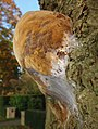 A still young Phellinus robustus (Eikenvuurzwam) growing on a hugh American oak with lots of web covering for cocoon of flies - panoramio.jpg