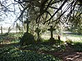 A yew tree shades overgrown graves in St.Mary's churchyard, Eastwell - geograph.org.uk - 1198833.jpg