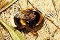 Abejorro parasitado (4321064939).jpg