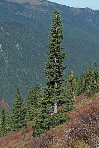 Pinophyta - The narrow conical shape of northern conifers, and their downward-drooping limbs, help them shed snow.