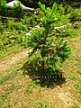 Abies pindrow India7.jpg