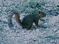 Abilene State Park Squirrel.jpg