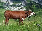 Abondance cow profile.jpg