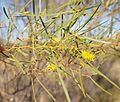 Acacia ancistrocarpa leaves.jpg