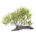 Acacia mellifera 3D-Modell.jpg