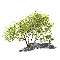 Acacia mellifera 3D-Modell