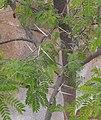 Acaciakarroo.jpg