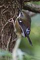 Acanthornis magna - Myrtle Forest.jpg