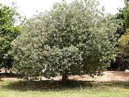 Acca sellowiana tree.jpg