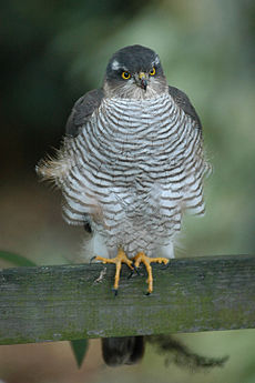 Front view of bird of prey with barred underparts, yellow eyes and hooked bill