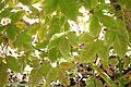 Acer henryi - Quarryhill Botanical Garden - DSC03285.JPG