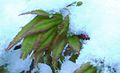 Acer in snow April 2008.jpg