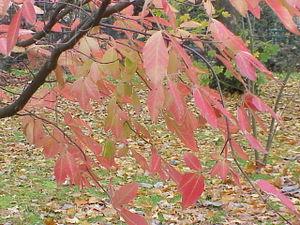 Acer maximowiczianum - Foliage in autumn